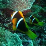 Namalata Reef Anenome Fish
