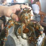 Holding Lobsters
