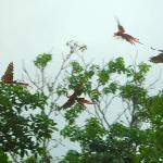 Scarlet Macaws everywhere