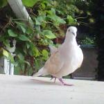 CoCo - Pet Ring-necked Dove