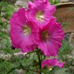 rose trémière dans le jardin