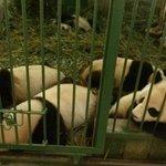Pandas inside their Cave