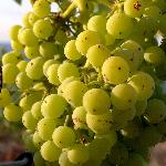 Grapes GRK from new vineyard