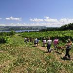 A picture-perfect shot of what you'll see on a Vineyard Tour