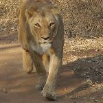 Female lion walking towards our truck