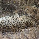Up close with a Cheetah on a walking safari