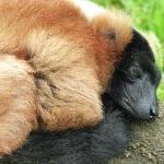 Slumberland in the Lemur enclosure.