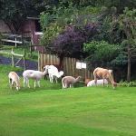 The alpacas on the fields