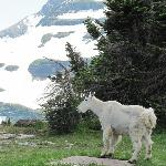 Mountain goat beside the trail.
