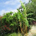 il banano in giardino