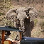 Charging Elephant with Cottars Safari car