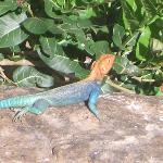 Beautiful lizards and pretty big too.