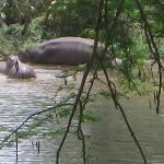 Hippos by the corner