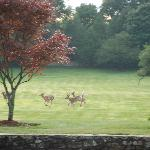 White Tailed Deer on the front lawn