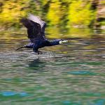 Cormorant at Puffin Island