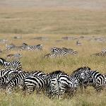 tons of zebras
