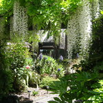 White wisteria in garden