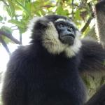 not only Orang-utans. a gibbon in the wild