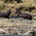 deze hippo's zijn geen vrienden..