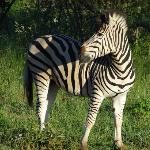 Dazzling zebra