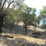 Olive Groves on the Island