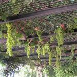Grape Vines in Bar area