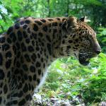 a panther