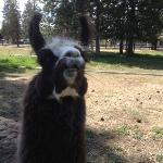 buster is my faborite llama