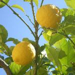 One of many lemon trees in the grounds