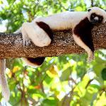 Chillin' Lemur