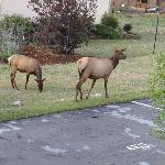 Elk in the backyard of hotel