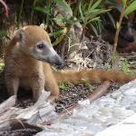 Petit koati