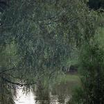 A willow drapes over the pond