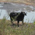 Buffalo spotted in Kruger