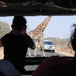 Giraffe casually crossing the road in fron of us while driving through Kruger