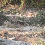 Female lion and her cubs spotted in Kruger
