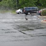 Goose in the parking lot.