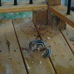 one of our chipmunk friends