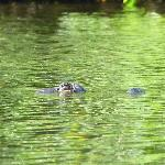 gator swimming by