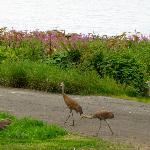 Sandhill crane family walking by