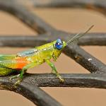 Brightly coloured grasshopper