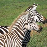 Beautiful pair of Zebra enjoying a lovely fall day.