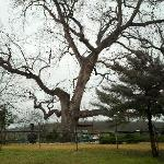 I just love this tree, i wonder what it has seen in its time.