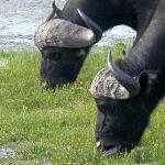 buffaloes grazing