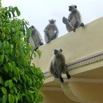 Monkeys on wall of hotel grounds