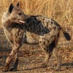Hyena at sunrise