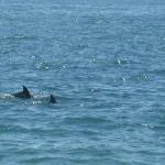 A couple of dolphins swimming near Santa Barbara