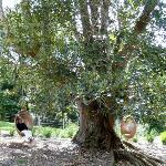 Swinging in the old fig tree