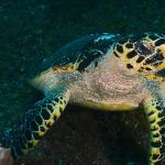 diving turtle reef