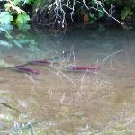 Salmon in the creek in front of the Spring Cabin